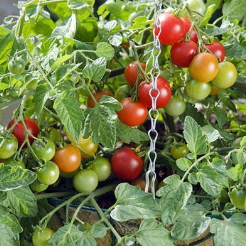 Terenzo F1 Tomato 10 Seeds - All American Selections Winner