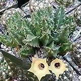 Huernia Bayeri Cactus Cacti Succulent Real Live Plant
