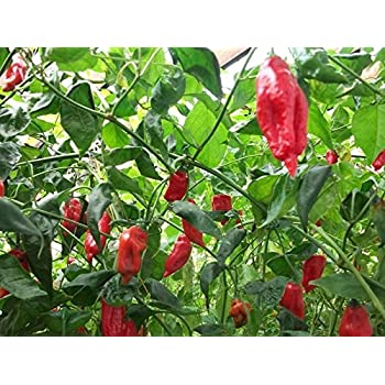 25 Rare Organic Heirloom Ají Verde Premium Pepper Seeds-S 26