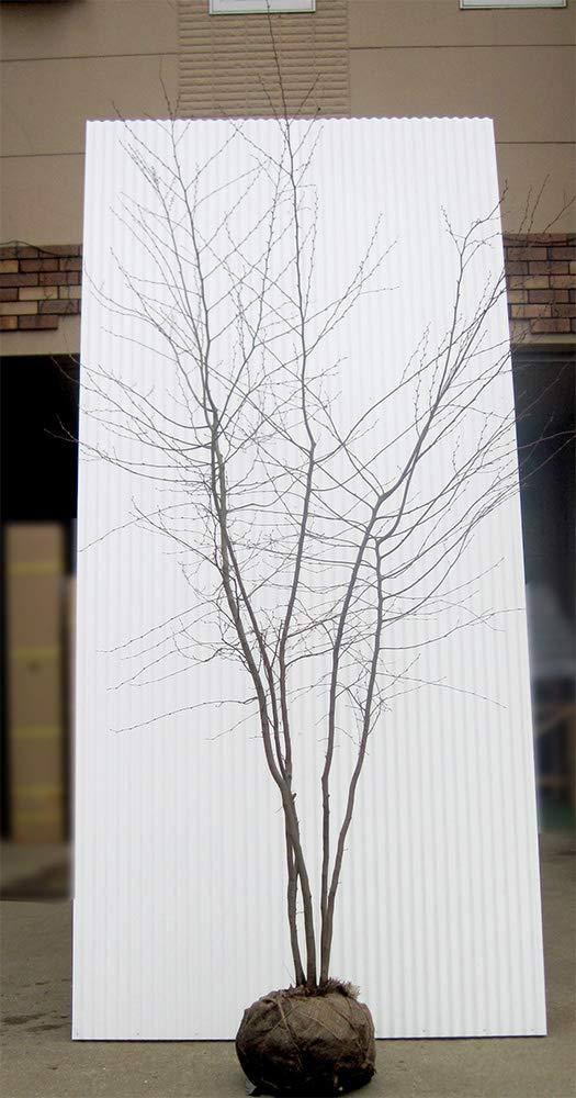 アカシデ (株立 樹高1.8m前後 露地苗) B07LBHB6T6  株立 樹高1.8m前後 露地苗