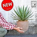 LAND PLANTS アガベ テラコッタ鉢 ハクセンコウ 鉢植え リュウゼツラン