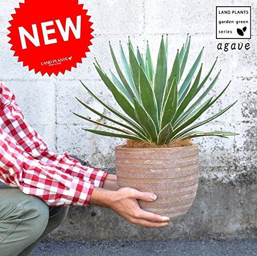 LAND PLANTS アガベ テラコッタ鉢 ハクセンコウ 鉢植え リュウゼツラン B06XCBJBXJ