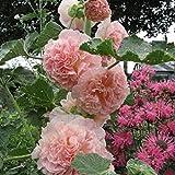 Rose trémière majorette variée 80 graines