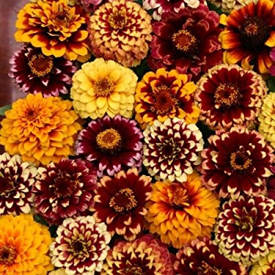 50+ Aztec Sunset Mix Zinnia Flower Seeds / Long Lasting Annual / Maroon, Pink, Lavender : Garden & Outdoor