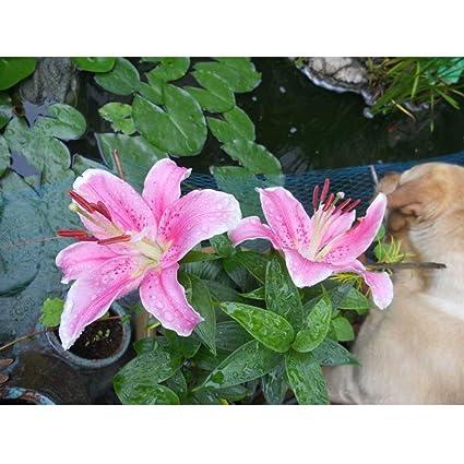 Amazon Com Pink Lily Bulbs 6 Bulbs Perennial High Germination