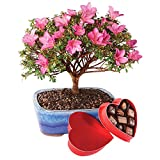 Brussel's Satsuki Azalea Bonsai - Large - with Medium Chocolate