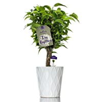 Hallmark Flowers Weeping Fig in 5-Inch White Ceramic Container