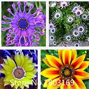 semillas margarita Transvaal, Sudáfrica caléndula, flor de partículas seeds100 libre multicolor mezclado 6 mezclar colores raros