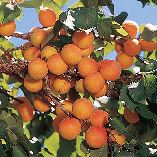 Manchurian Apricot Fruit Tree Seeds - 6 Premium Quality Tree Seeds - 85% Germination - Prunus Mandshurica (Isla