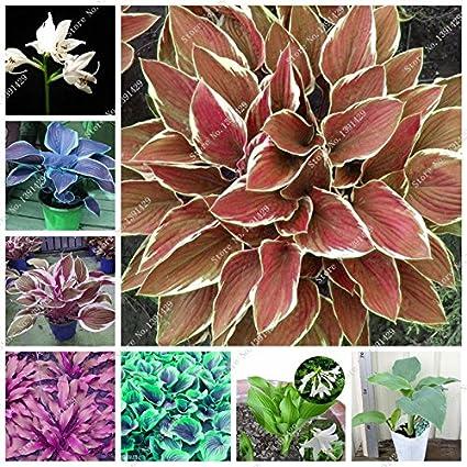 Amazoncom Mixed Hot Sale 2018 Exotic Hosta Plant Seed Four