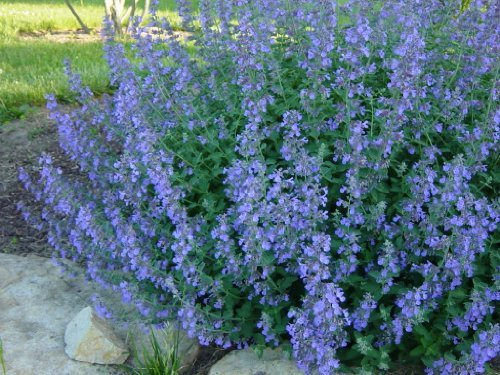 Catmint Walkers Low > Nepeta faassenii 'Walkers Low' >Landscape Ready 1 gallon Container by Grimm's Gardens