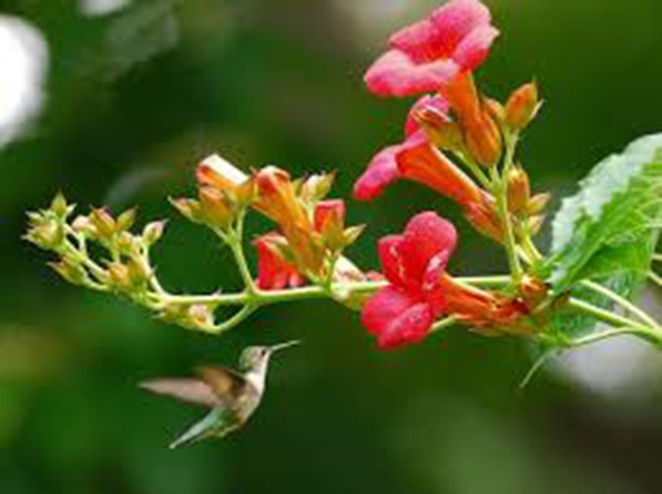 Trumpet Vine Creeper, Trumpet Flower, Campsis radican, (6) 16''-24'', Orange Flower, Orange Flowers, Vine, Vines, Hummingbird Vine, Hummingbird Flowers, Trumpet Vine Flower, Live Plants, Plant by Organic Heirloom Plants (Image #7)