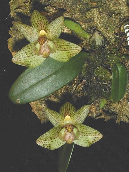Amazon Com Bulbophyllum Pectinatum Orchid Plant Miniature