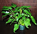 "Gorgeous XANADU Philodendron Super Full 6"" Pots Very Easy Tropical Houseplant"