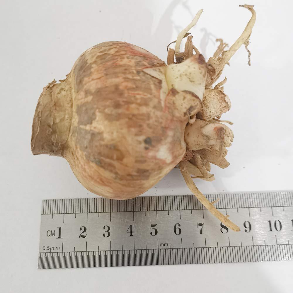 2 Apple Blossom Amaryllis - Pink and White Amaryllis Bare Root Bulbs
