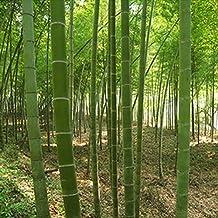 100pcs/bag Giant Moso Bamboo Seeds Moso Bamboo Tree Seeds Home Garden Courtyard Bamboo Seed