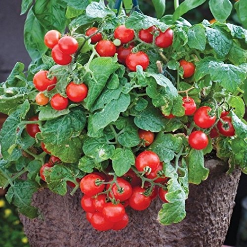 David's Garden Seeds Tomato Currant Tiny Tim N961G (Red) 50 Heirloom Seeds (Salsa Tomato Seeds)
