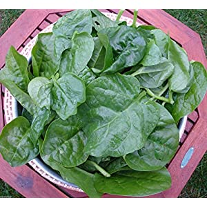 Green Malabar Spinach-100 Seeds [Guyana Thick Leaf Callaloo] Fast-growing Vine