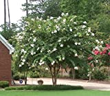 Natchez White Crape Myrtle Tree - Full gallon - 2-4 Feet Tall