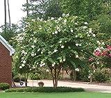 Natchez White Crape Myrtle Tree - Full gallon - 2-4 Feet Tall