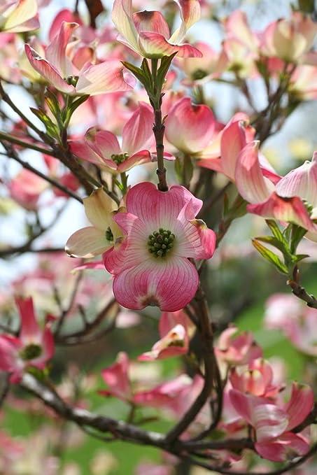 Amazon Com 1 Gallon Pink Hybrid Dogwood Tree Blooms Are A