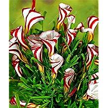 TRUE oxalis flower bulbs (oxalis bulb) rare oxalis versicolor Candy Cane Sorrel flower rotary grass pot home garden plant 2 bulb 1