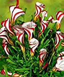 TRUE oxalis flower bulbs (oxalis bulb) rare oxalis versicolor Candy Cane Sorrel flower rotary grass pot home garden plant 2 bulb 1 SEEDS ONLY