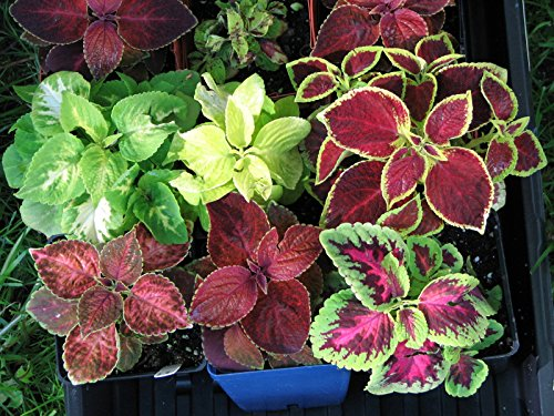 Seeds Coleus (blumei) Perennial Ornamental Plant