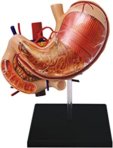 Famemaster 4D-Vision Human Stomach Anatomy Model