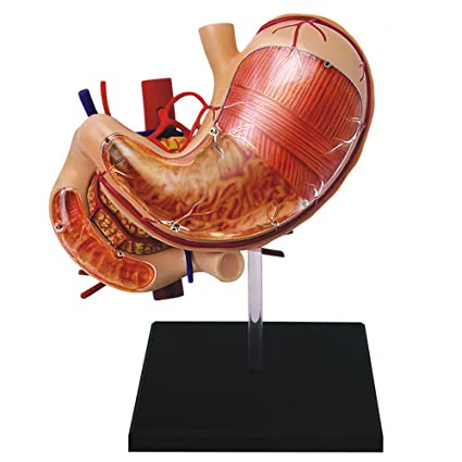 Amazon.com: Famemaster 4D-Vision Human Stomach Anatomy Model: Toys ...