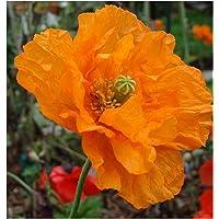 50X Amapola ruprifragum Doble Mandarina GEMA semillas Amapola