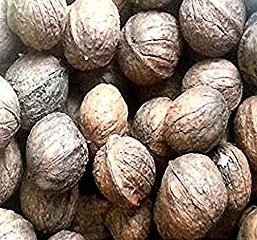 Paradox Black Walnut - Juglans x Paradox - TREE SEEDS - FAST Growing Variety is HARDY TO ZONE 8 - By MySeeds.Co (5 Seeds)