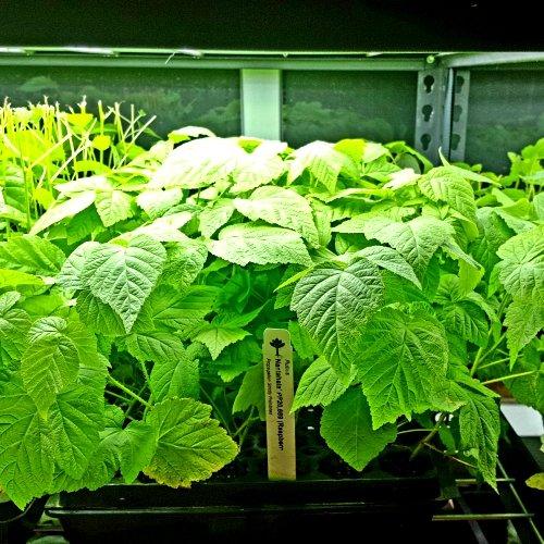 Raspberry Plant ''Nantahala'' (Red) Includes Four (4) Plants