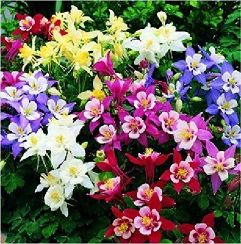 100pcs Mix Columbine aquilegia viridiflora Shade Perennial Flowers Seeds