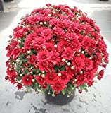 "Garden Mum Red Live Plant - 2 (Two) Live Plants Fit 4"" Pot"