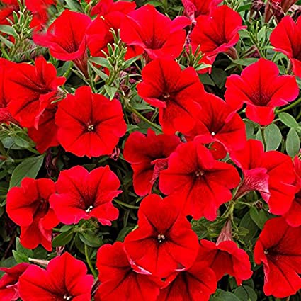 Amazon rare dark red velour petunia seeds professional pack rare dark red velour petunia seeds professional pack 200 seeds pack cold mightylinksfo