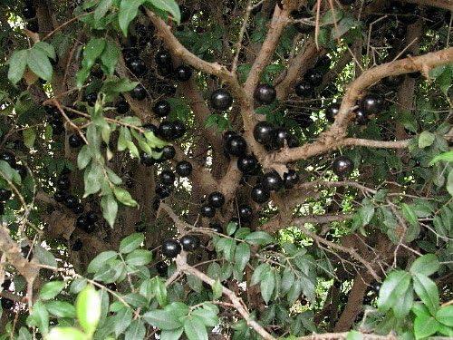Tree That Fruits On Its Trunk 6 Pot Jabuticaba Fruit Tree Plant Myrciaria
