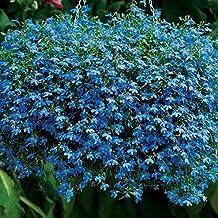 Flower Seeds Trailing Lobelia Blue Cascade (Lobelia pendula) Annuals