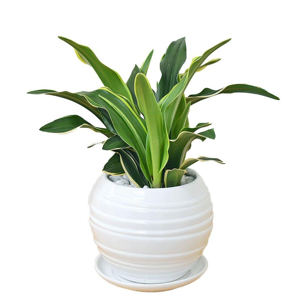 観葉植物 万年青(オモト) 甲竜 ボール型陶器鉢植え B01HUVZT8Y  ホワイト