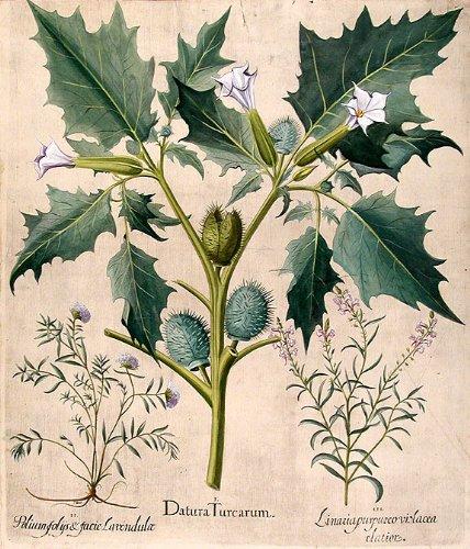 ผลการค้นหารูปภาพสำหรับ Thorn Apple drawing