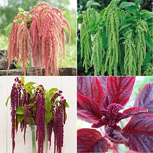 (David's Garden Seeds Collection Set Flower Amaranth Open Pollinated PC8776 (Multi) 4 Varieties 1500 Non-GMO, Open Pollinated Seeds )
