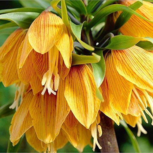1 Bulbs of Fritillaria Crown Imperial (Crown Imperial Bulbs)