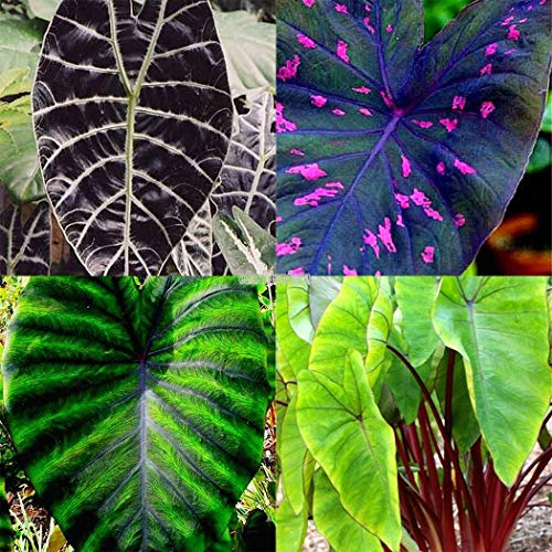 Type 20pcs Heirloom alocasia macrorrhiza Green Giant Taro Seeds Elephant Ear Tar t