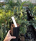 Encephalartos Altensteinii X Lehmanii F1 Hybrid Blue South African Cycad