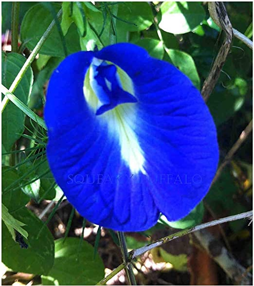 Blue Butterfly Pea Vine 50 Seeds Double Blue Blloms,Fast Growing Impressiv