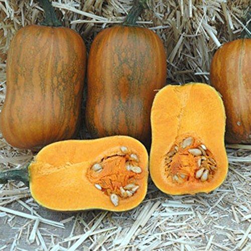 Honeynut Butternut Squash 20 Seeds Smaller Size Higher Yields Than Butturnuts ()