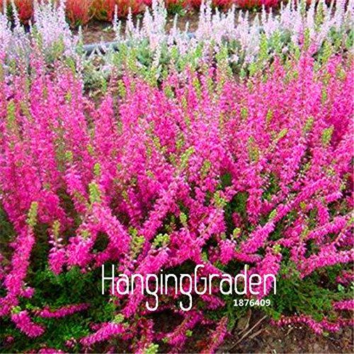Seed 100 Pieces/lot Big Sale!Scotch Heather Groundcover Bonsai (calluna Vulgaris) Easy to Grow DIY Home Flower Plant