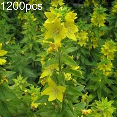 AzsfUfsa53 Package of 1200Pcs Non-GMO Wild Flower Seeds, Yellow Rattle Rhinanthus Minor Plant Seeds for Garden, Bonsai, Home Decor & Air Purification Rhinanthus Minor Seeds : Industrial & Scientific