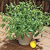 Seeds Green Leaf Basil Limonnyy - Lemon Fresh Organic Russian Heirloom Seed