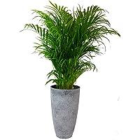 Planta de interior de Botanicly – Palma Areca en maceta el plastico gris como un conjunto – Altura: 120 cm – Dypsis…